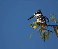 Pied Kingfisher at Lake Malawi